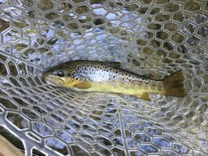 Blog   Brown Trout Fly Fishing